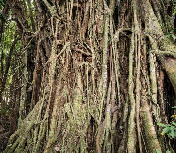 Alter zauberhafter Balete-Baum